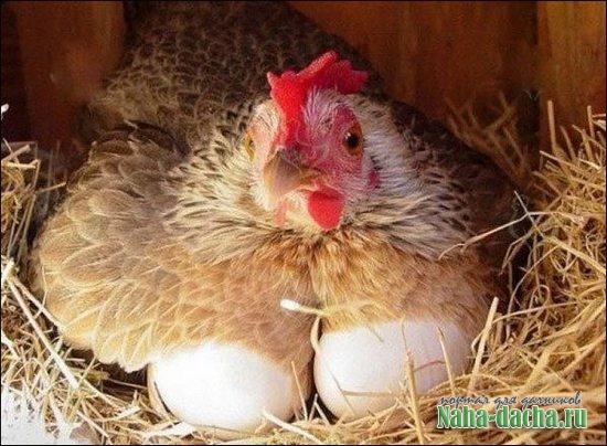 чтобы зимой куры несли яйца