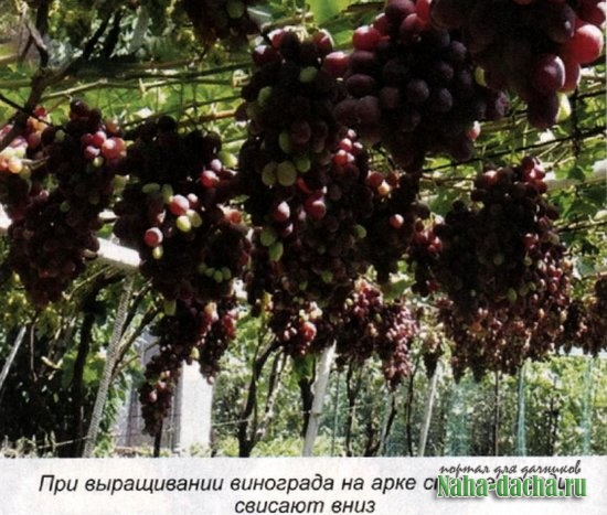 Закладка виноградника