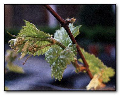 посадка винограда в школку