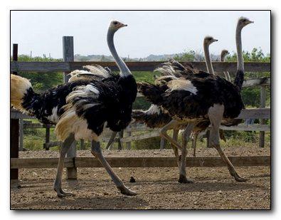 Опыт по выращиванию страусов