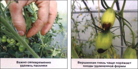 ошибки выращивание томатов