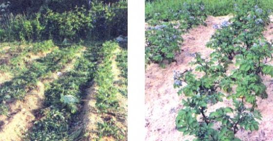 азмножения сортовой картошки