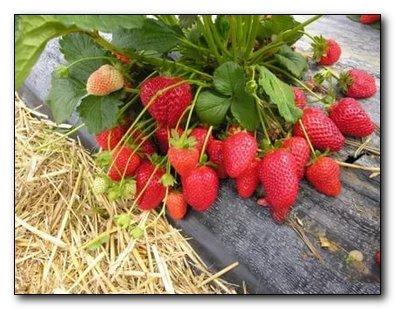 Садовая крупноплодная земляника-вкусное лекарство
