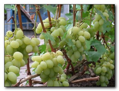 Выращиваем устойчивые сорта винограда