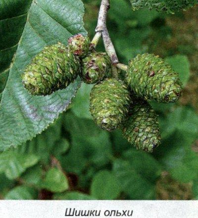 растения от аллергии