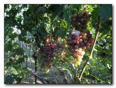 виноград в северных регионах