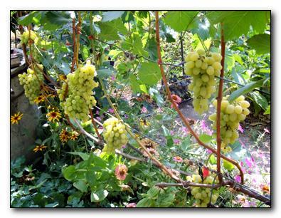 Стойкие сорта винограда