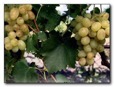 Восстановление винограда после града