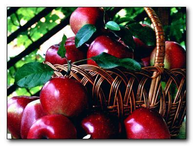Как уберечь урожай яблок от болезней
