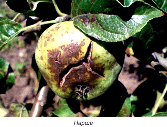 Как уберечь урожай яблок