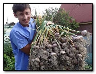 секрет хорошего урожая чеснока