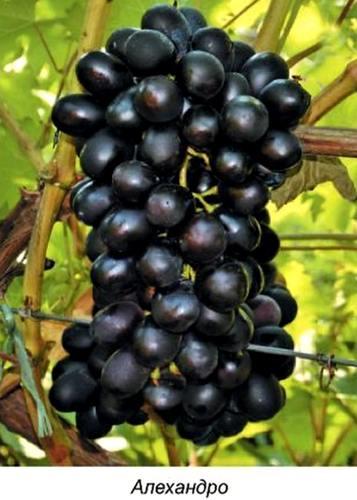 Гибридные формы винограда