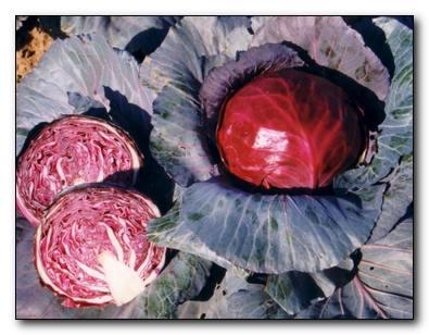 Как выращивать краснокочанную капусту
