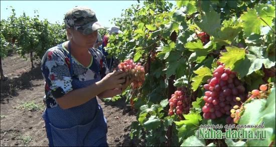 Виноград для прохладного климата
