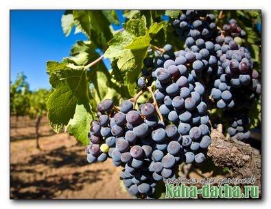 Покупка саженцев винограда