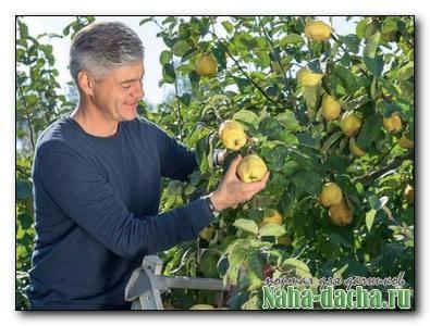 Айва: выращивание, уход