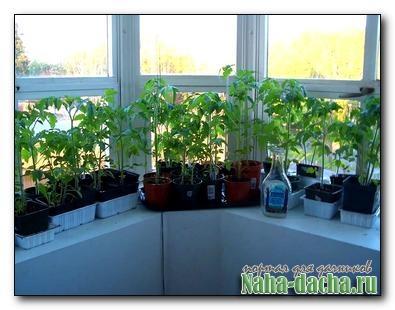 Выращивание рассады в домашних условиях-опыт дачника