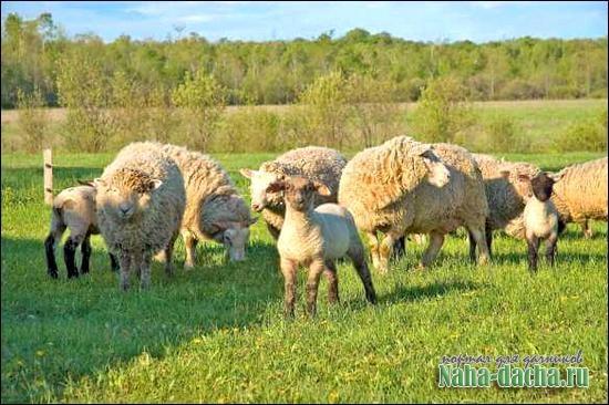 Выращивание овец в домашних условиях