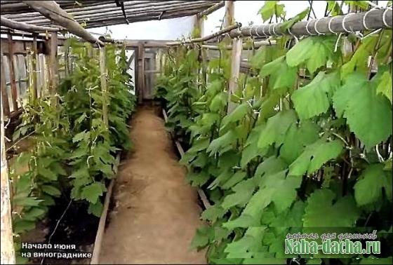 Выращивание винограда на Западном Урале