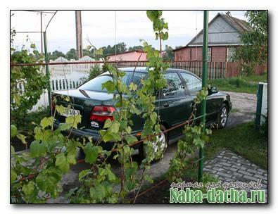 Опыт дачника по выращиванию винограда