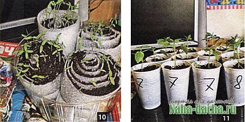 Выращивание рассады в улитках
