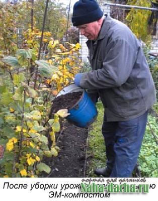 Смородина белая: полезные свойства, уход, сорта, сбор урожая