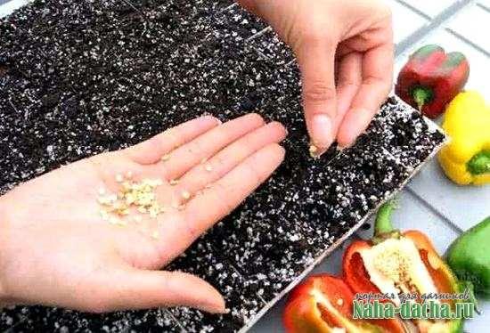 Сладкий перец от семян до плода