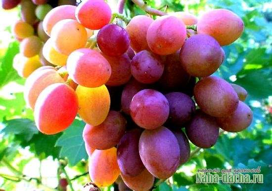 Рекомендуемые сорта винограда на Урале