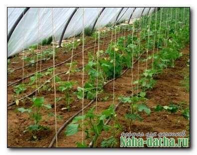 7 ответов, как правильно выращивать огурцы в теплице