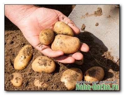 Два урожая картофеля за один сезон