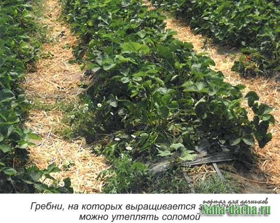 Выращивание земляники без ошибок