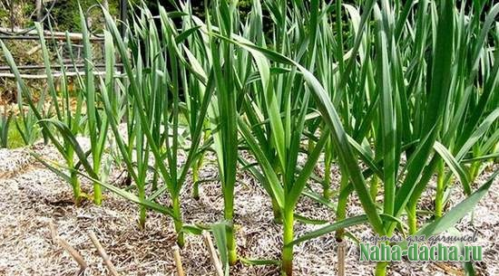 Выращивание чеснока-посадка для ленивых
