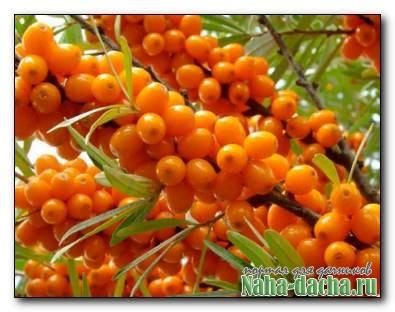 Облепиха для вашего сада: сорта, посадка и уход