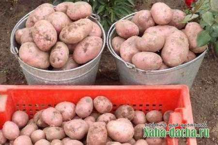 Три шага чтобы получить высокой урожай картошки
