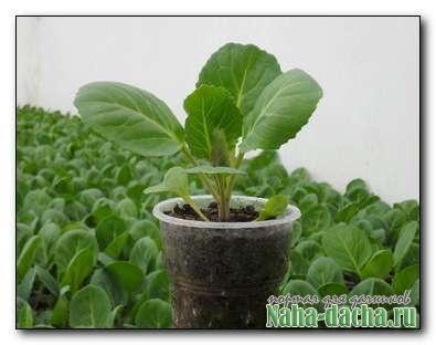 Как вырастить хорошую рассаду с применением мха
