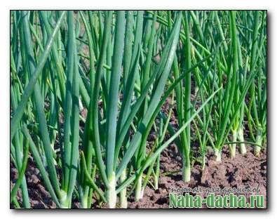 Как достичь стабильных и высоких урожаев лука