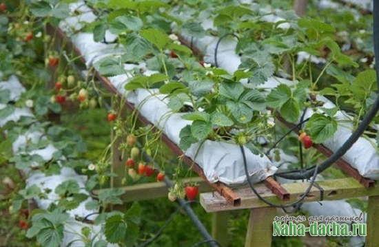Как вырастить клубнику в мешках
