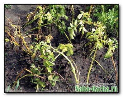 Картофельные болезни