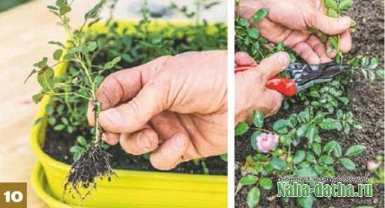 Простой способ размножить розы