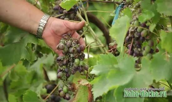 Основные болезни и вредители винограда