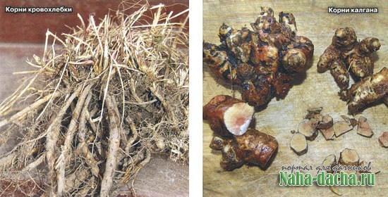 Кору, корни и плоды собираем осенью