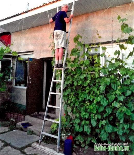О выращивании столового винограда в городе
