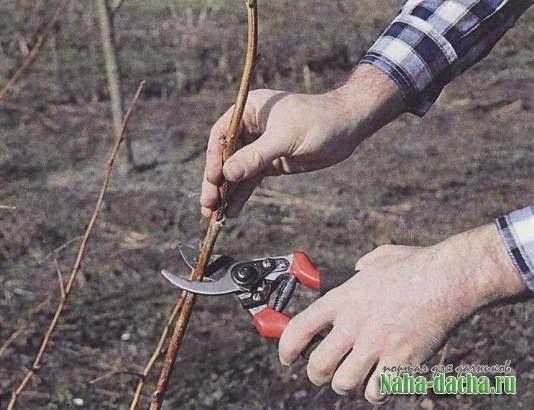 6 вопросов про обрезку ягодников