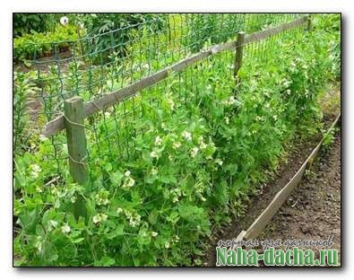 Как вырастить горох на огороде