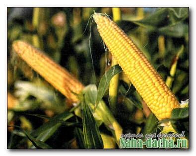 Сладкая кукуруза: выбираем лучшие сорта