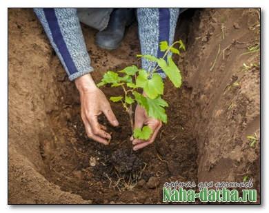 Садоводам на заметку о выращивании винограда