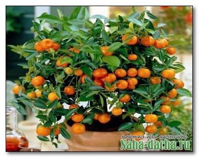 Выращивания саженца мандарина