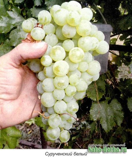 Сорта не укрываемых сортов винограда